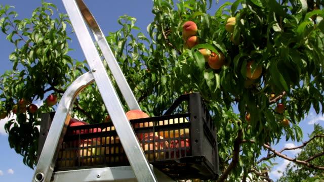 zbiór brzoskwinie w orchard - brzoskwinia drzewo owocowe filmów i materiałów b-roll