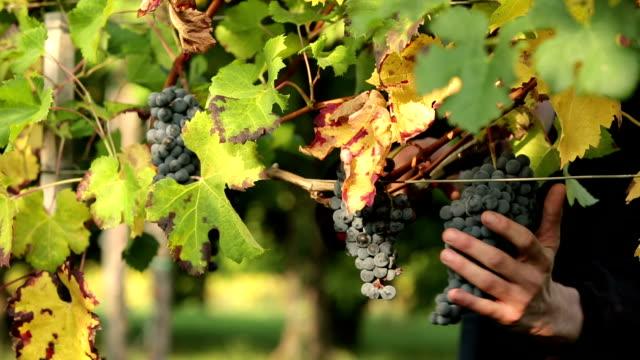 harvest red grape video
