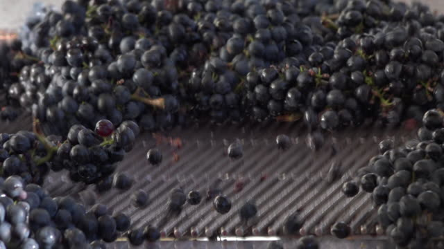 Harvest red vine in box manual sorting table video