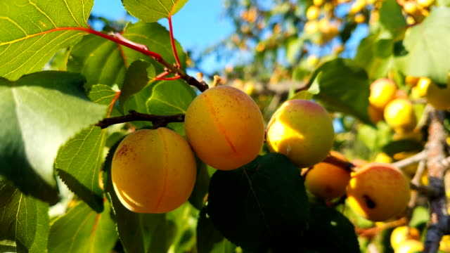 harvest ripe apricot on a tree on a sunny summer day. organic food. - albicocca video stock e b–roll