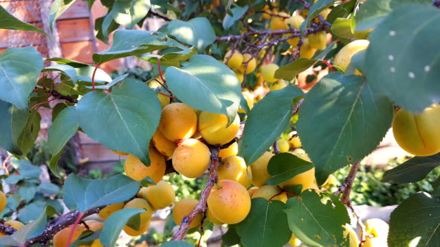 Harvest ripe apricot on a tree on a sunny summer day. Organic food. Harvest ripe apricot on a tree on a sunny summer day. Organic food. plum stock videos & royalty-free footage