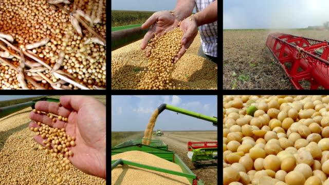 Harvest Soybean Split Screen video