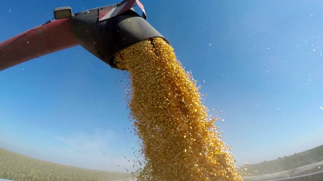 Harvested Corn Being Transferred to a Truck video