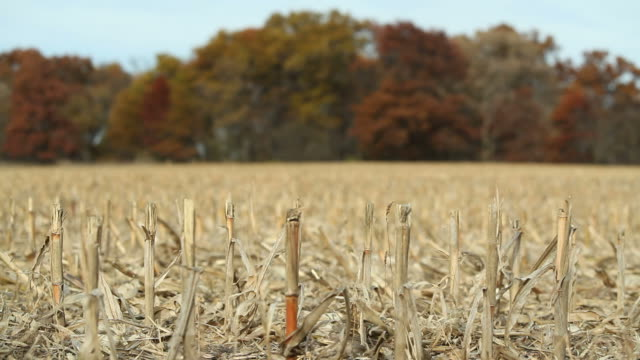 Harvested Corn Stalks and Fall Trees video