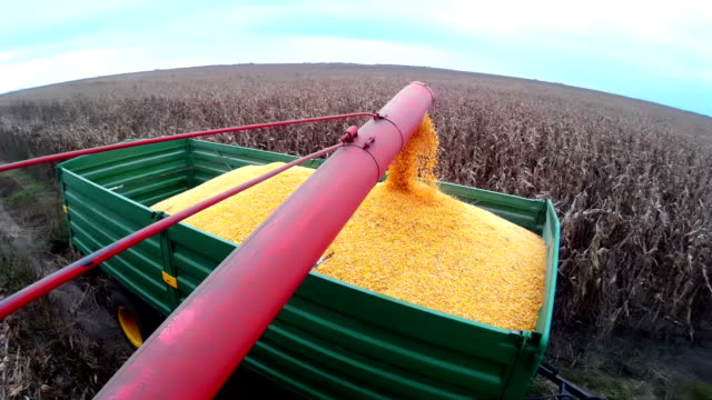 Harvested corn video