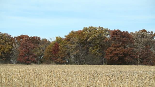 Ernte Herbst Cornfield mit schwingenden Baum Hintergrund – Video