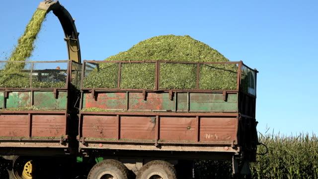 harvester combine harvest maize corn plant against blue sky. Panorama. video