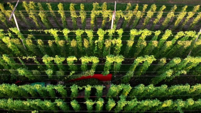 Harvesting a hops field is a two man job Hops field being harvest, view from above. Tractor harvesting hops. crop plant stock videos & royalty-free footage