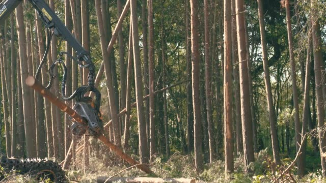 Harvesting a pine forest with industrial logging machines for environmental conservation