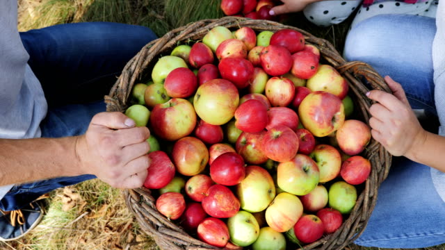 Harvesting apples in the apple orchard