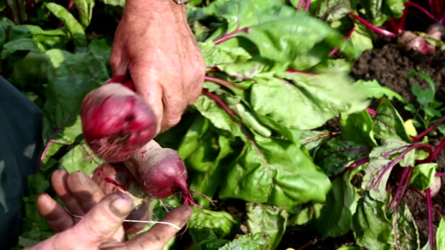 Harvesting beets video