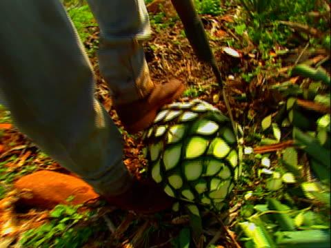 harvesting blue agave 06 video