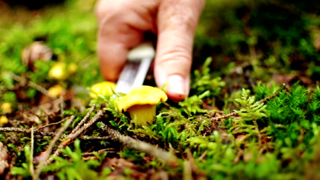 Harvesting Chanterelles - Swedish Forest video