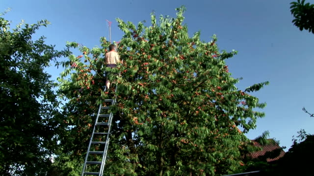 HD TIME-LAPSE: Harvesting Cherries video
