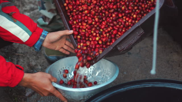 harvesting cherry coffee beans video