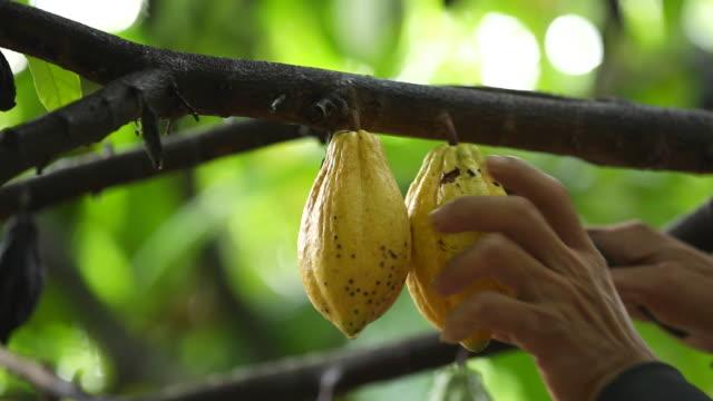 ernte kakaofrucht in thailand - gebraten oder geröstet stock-videos und b-roll-filmmaterial