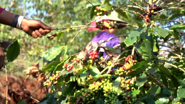 harvesting coffee bean - coffee farmer video stock e b–roll