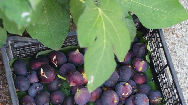 vídeos de stock e filmes b-roll de harvesting figs - colher atividade agrícola