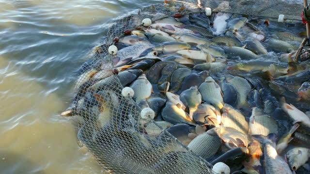 raccolta del pesce nell'allevamento ittico - acqua dolce video stock e b–roll