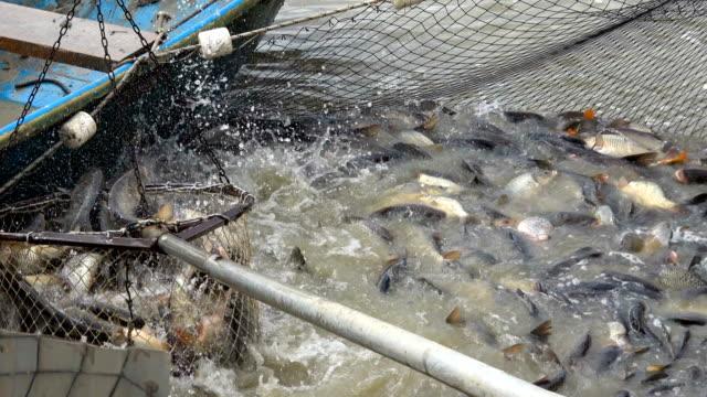 zbieranie ryb ze stawu rybnego - karp filmów i materiałów b-roll