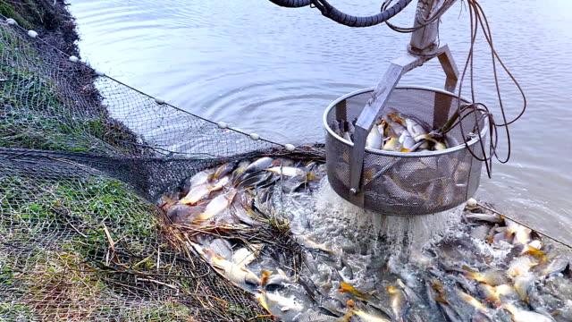 zbiory hodowli ryb w - karp filmów i materiałów b-roll