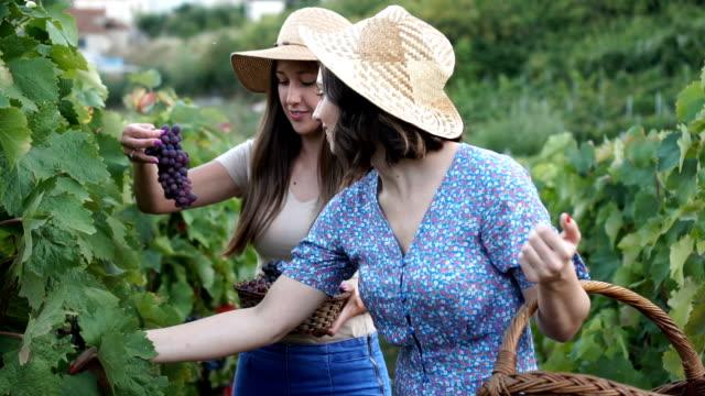 harvesting fresh grapes - azienda vinicola video stock e b–roll