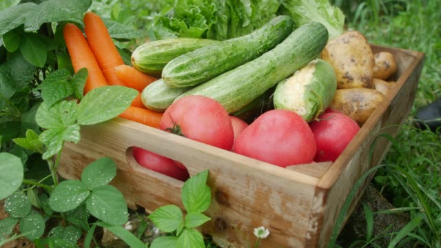 Harvesting fresh organic vegetable in a wood box Harvesting fresh organic vegetable in a wood box red potato stock videos & royalty-free footage