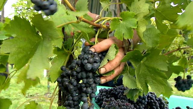 harvesting grape video