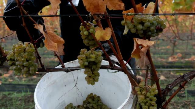 harvesting grapes of the vine to make wine - vit rieslingdruva bildbanksvideor och videomaterial från bakom kulisserna
