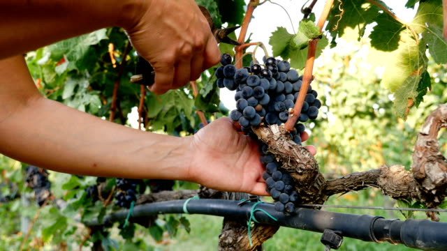 harvesting grapes,south of italy-man' s hand man cutting grapes in the vineyard- - vite flora video stock e b–roll