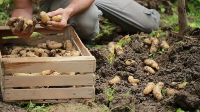 vídeos de stock e filmes b-roll de harvesting homegrown organic potatoes - engradado