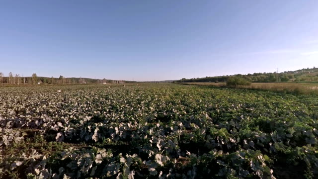 Harvesting in a field Harvesting in a field.  cabbage stock videos & royalty-free footage