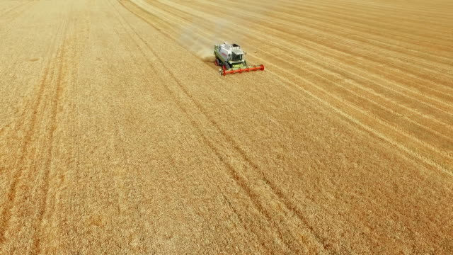 Harvesting in summer wheat field video