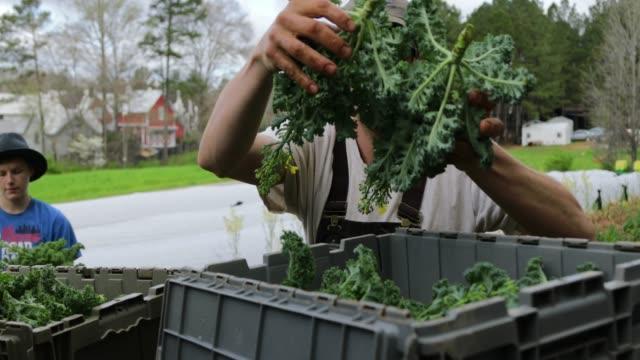 ernten kale - grünkohl stock-videos und b-roll-filmmaterial