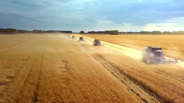 Harvesting machine working in the field. Top view from the drone Combine harvester agricultural machine ride in the field of golden ripe wheat. video