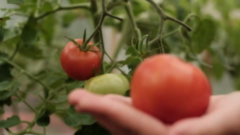 harvesting of tomatoes harvesting of red tomatoes in greenhouse choosing stock videos & royalty-free footage