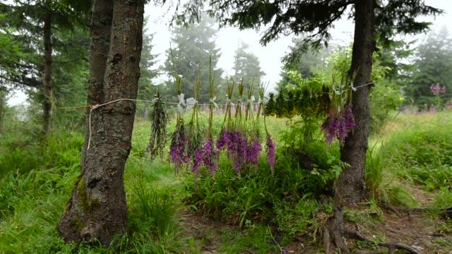 vidéos et rushes de la cueillette de plantes médicinales sauvages - plante aromatique