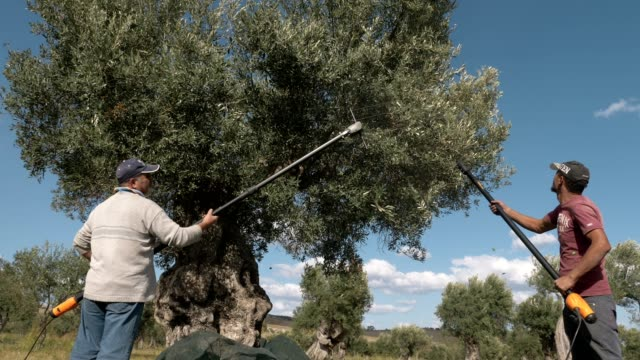 harvesting olives. farmers picking olives on the trees - oliva video stock e b–roll