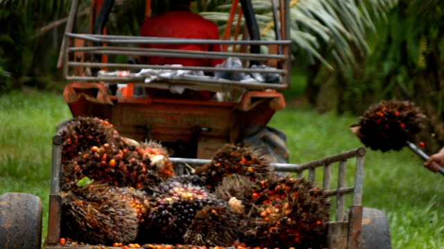 harvesting palm oil in the plant,slow motion - piantagione video stock e b–roll