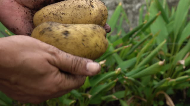 Harvesting potato in the field Harvesting potato in the field cultivated land stock videos & royalty-free footage