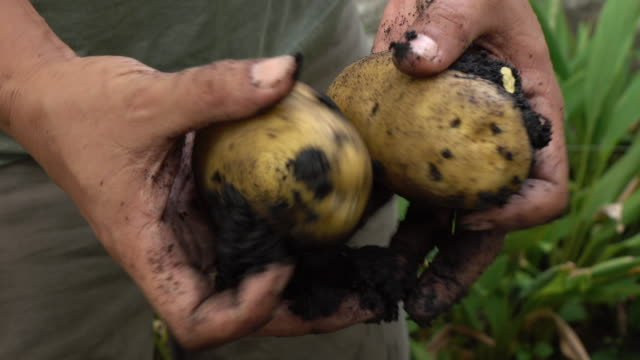 harvesting potato in the field - patate video stock e b–roll