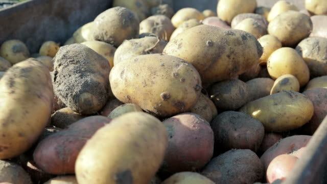 Harvesting potatoe on the farm Harvesting potatoe on the farm. Close-up prepared potato stock videos & royalty-free footage