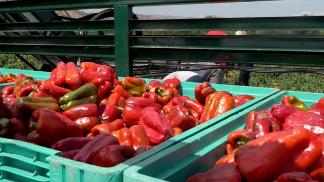 vídeos de stock e filmes b-roll de harvesting red bell peppers in summer. boxes full of picked bell peppers - red bell pepper isolated