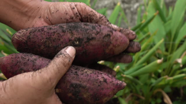 harvesting sweet potato in the field - клубень стоковые видео и кадры b-roll