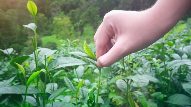 vídeos de stock e filmes b-roll de harvesting tea leaves - colher atividade agrícola
