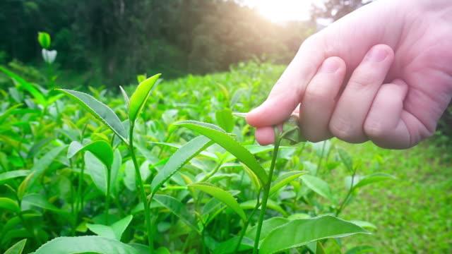 harvesting tea leaves - attività agricola video stock e b–roll