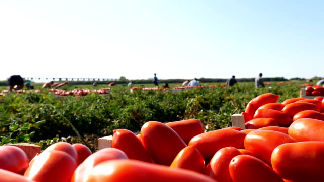 harvesting tomatoes in summer in south of  italy: peasants work in the fields - pomodoro video stock e b–roll