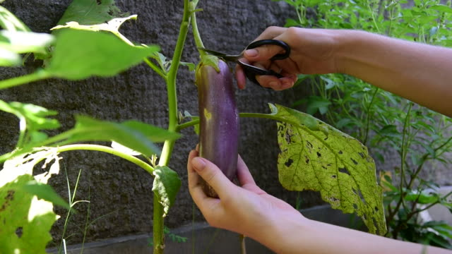Harvesting violet eggplant from the plant with scissors video