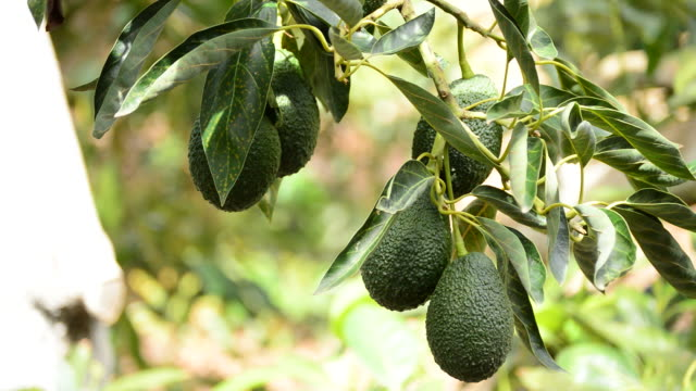 Hass avocado fruit hanging at tree in a plantation video