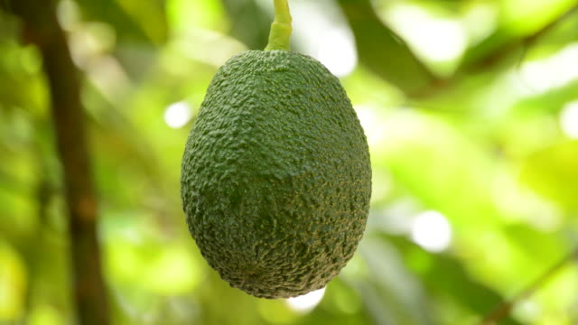Hass avocado fruit in close up hanging at tree video
